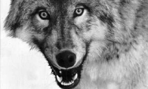 Canis_lupus_portrait_crop